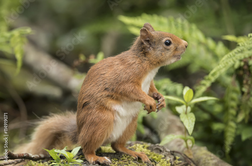 Tuinposter Eekhoorn Red squirrel, Sciurus vulgaris, on a tree trunk looking around