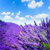 Lavender summer field