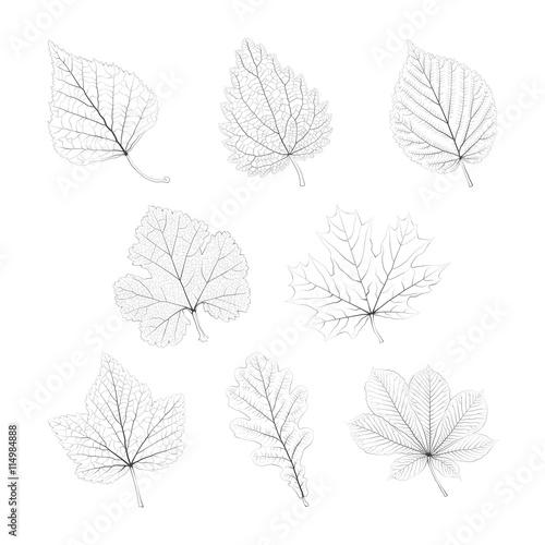 Fototapeta Set of vector isolated monochrome single leaves