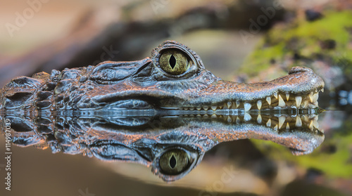Plakat Close-up widzenia spectacled Caiman (Caiman crocodilus)