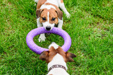 Two dogs pulls toy playing Tug-of-war on grass
