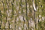 Close up view of brown tree bark with moss - 115009863