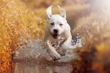 Labrador Welpe rennt bei Sonnenschein durch das Wasser eines Flusses - 115016079