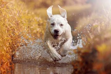 fototapeta labrador szczeniak biegnie w słońcu przez rzekę