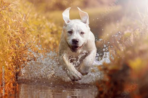 Labrador Welpe rennt bei Sonnenschein durch das Wasser eines Flusses
