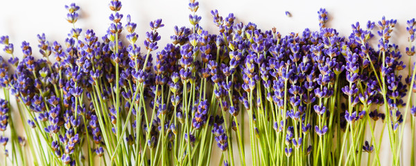 Row of wild mountain lavender flowers on white panoramic background