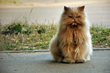 Red fluffy angry cat sitting on the street.