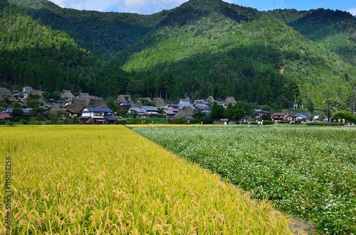 秋の田園風景 ソバ畑と田圃 美山 京都