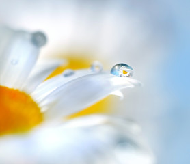 Chamomile flowers and drop of water