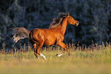Young Bay Arabian galloping over meadow in late afternoon sunlight © rima15
