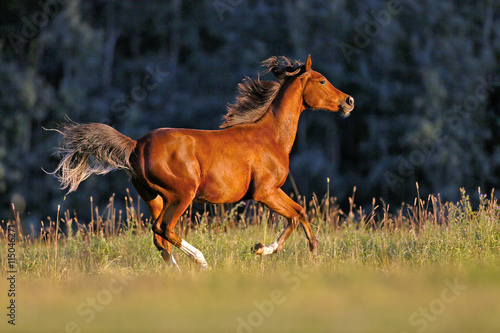 Young Bay Arabian galloping over meadow in late afternoon sunlight