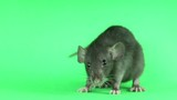 gray rat on a green screen