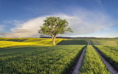 Zielone łany młodego zboża na polu w Niemczech,samotne drzewo na polu