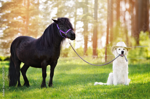 golden retriever dog in a cowboy hat holding pony on a leash