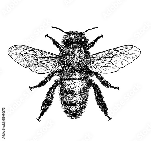 engraved, drawn,  illustration, insect, bee, honey, bite, sting, pinch