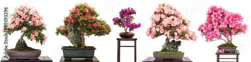 Fotobehang Azalea Bonsai Bäume mit Blüten als Panorama