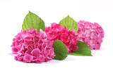 Fleurs d'hortensias roses