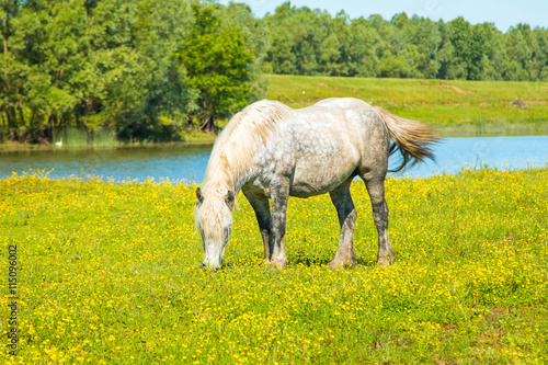 obraz PCV White horse on green field in spring in nature park Lonjsko polje, Croatia