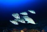 Fish underwater: Sweetlips