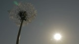 Dandelion bud in front of sunset FullHD 1920X1080 footage - Blowball before sunset slow motion HD 1080p video