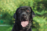 Black labrador retriever being kind and nice