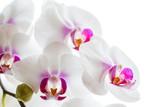 Fototapety zarte Orchideenblüten isoliert auf dem weißen Hintergrund