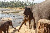 Elephants bathing in the river.