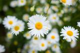 Daisy. Chamomile. Flowers.