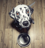 Dog is very hungry -- he is sitting next to the bowl