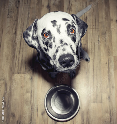 Fototapeta Dog is very hungry -- he is sitting next to the bowl