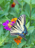 Tiger Swallowtail feeding on zinnia