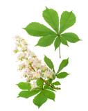 Horse-chestnut (Aesculus hippocastanum, Conker tree) flowers iso - 115294678
