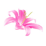 Spring flower pink Lily  Daylily vector illustration