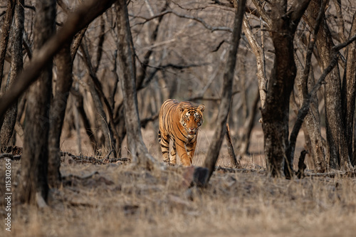 Poster Big beautiful tiger male walks in the magical dry forest face to face with photo
