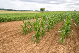 Sunflowers And Corn Growing In Early Stage