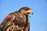 Lo sguardo attento di uno splenddo esemplare di Falco di Harris nelle campagne del nord italia.