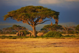 Stado słonie pod drzewem na wschodzie słońca w Amboseli National Park, Kenia