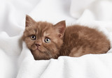 portrait of brown british kitten