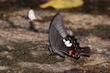 Black butterfly on salt marsh.