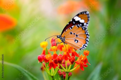 Butterfly on flower - 115413641