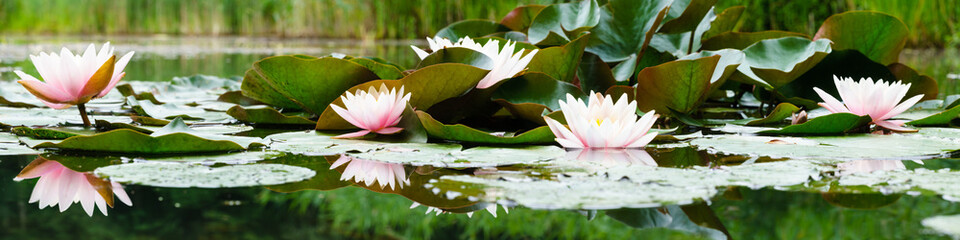 beautiful flowers lily on water