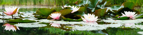 Fototapeta beautiful flowers lily on water