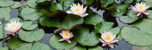 Belles fleurs de lys sur l'eau Poster