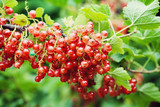 Bush of red currant with ripe berries and green leaves in the garden