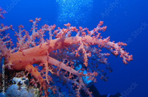 Diving with bright red soft coral at Habili Ali, St John's reefs, Red Sea, Egypt