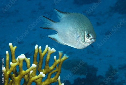 Pale Damselfish. Amblyglyphidodon indicus at Paradise Reef, Red