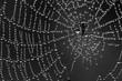 Spin in zijn web vol dauwdruppels. Een spinnetje van amper 2mm groot. Een uitvoering in zwart wit.