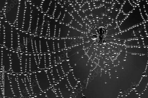 Zdjęcia na płótnie, fototapety na wymiar, obrazy na ścianę : Spin in zijn web vol dauwdruppels. Een spinnetje van amper 2mm groot. Een uitvoering in zwart wit.