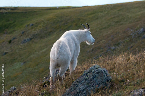 Poster Male Billy Mountain Goat on Hurricane Ridge in Olympic National Park in Washingt