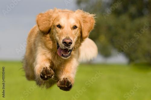 Golden Retriever springt über grüne Wiese